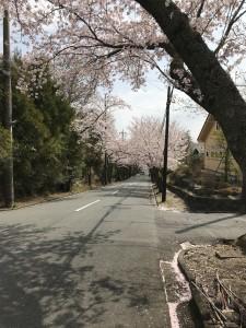 2018桜並木1